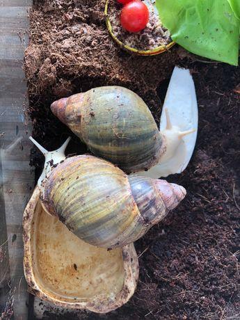 Ślimaki afrykańskie  archachatina rhodostoma Benin Albino