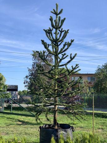 Araucaria araucana Małpie drzewo Araukaria