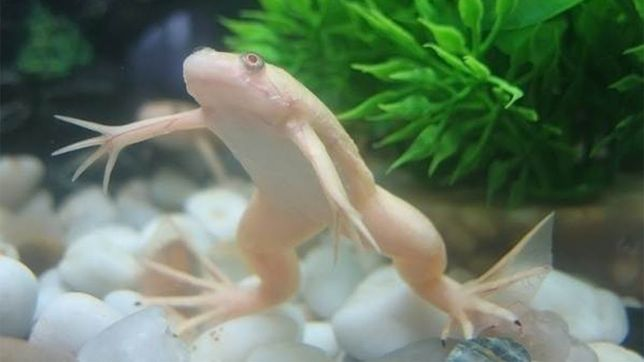 Лягушки шпорцевые жёлтые, пара. Сомик Агциструс, самец. Анубиас.