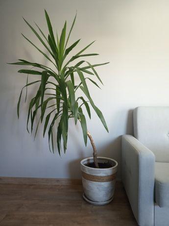 Roślina doniczkowa, kwiat domowy, duża roślina, Yuca, juka