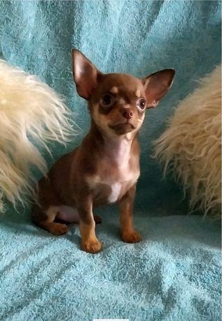 Шоколадный мальчик кобби щенок чихуахуа