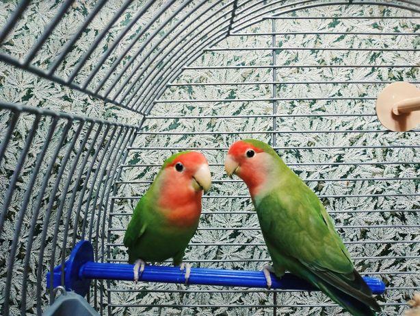 Продаются попугайчики Love Birds - Попугаи Неразлучники с клеткой