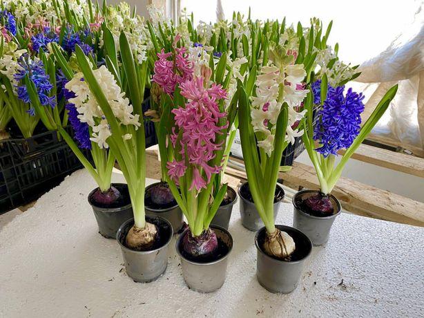 Квіти у вазонах. Цветы в горшках. Гиацинт. Крокус. Нарцисс. Опт. Торг.