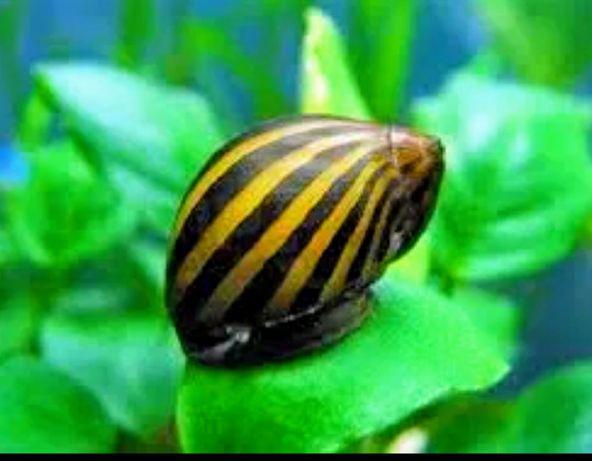 Ślimak Zebra PIEKNY slimak na glony w akwarium !