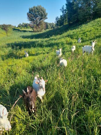 Зааненські кози різних вікових груп.