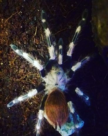 Sprzedam pająka ptasznik Nhandu Chromatus z terrarium samiec L7/8