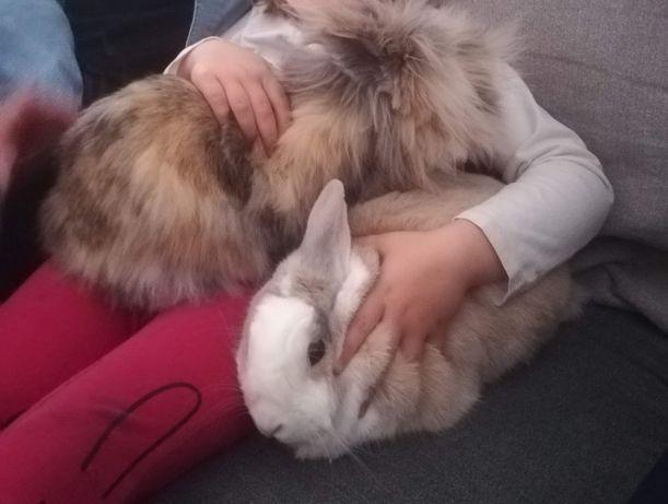 Dwa urocze wykastrowane samczyki króliczki miniaturki