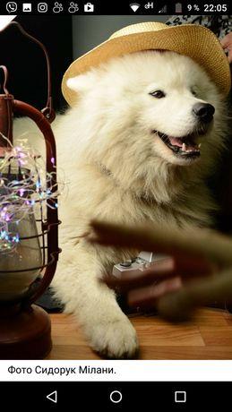 Самоед, самоедська собака
