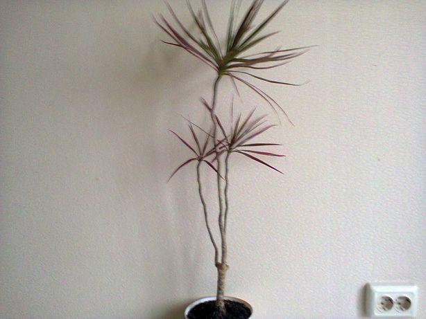 Драцена, высота 70 см, здоровое растение, 250 гривен
