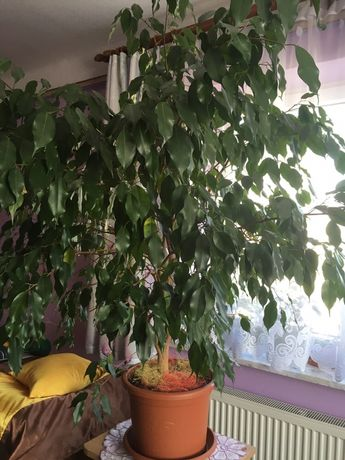 Ficus benjamina 150cm