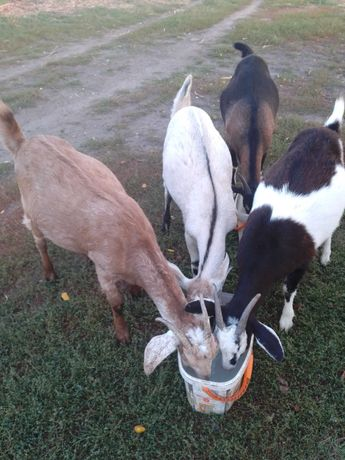 Купить коз заано нубийских