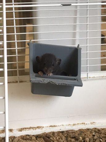 Продам декоративных крысок