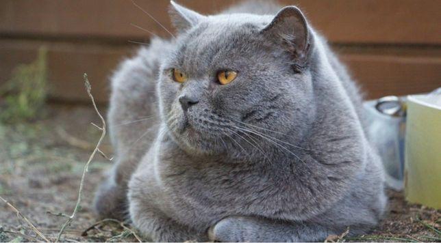 Вязка Шикарный кот