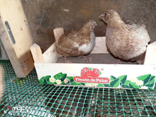 Ovos de codernizes para incubação
