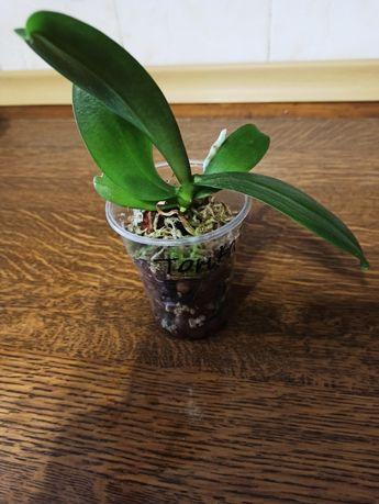 Подросток Тонка 7, орхидея