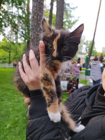 Девочка 2мес, трехцветный котёнок в добрые руки, котята, кошка, кот