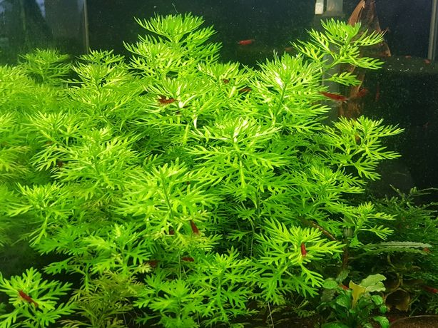 Roślina akwariowa (Hottonia.)5+1gratis.