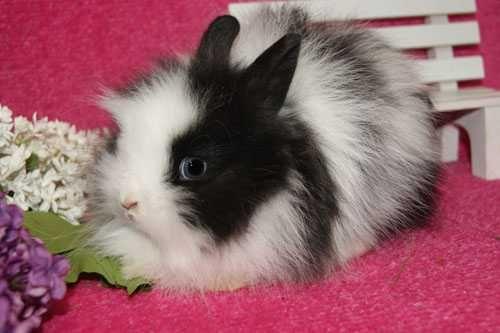 Przecudny króliczek. Karzełek teddy.