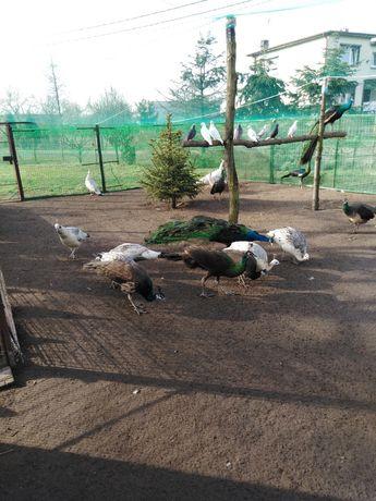 Pawie czarnoskrzydłe