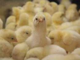 суточные и подрощеные цыплята бройлера
