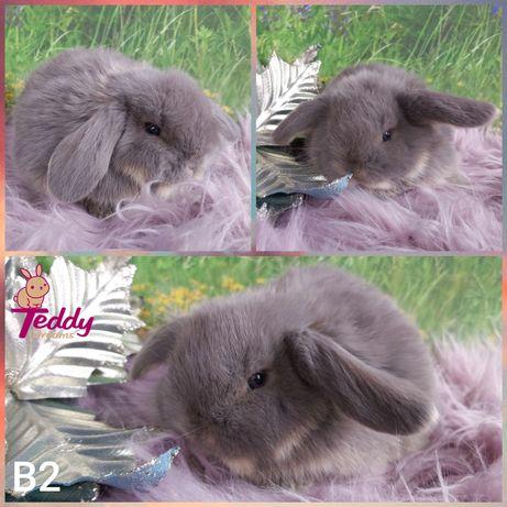 Królik króliczki Karzełek Mini Lop. Samczyk B2