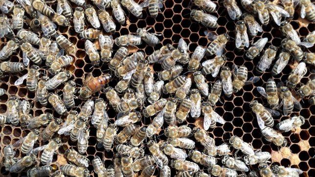 В наличии пчеломатки итальянки, бакфаст