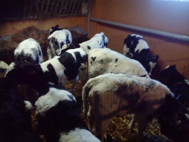 Sprzedaż cieląt, byczki, cielęta, jałówki, NOWA DOSTAWA