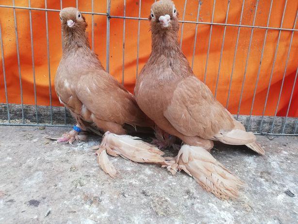 Gołębie wywrotek wywrotki mazurskie