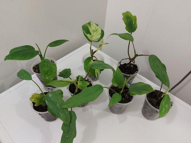 Все растения/Филодендроны  по 100 грн