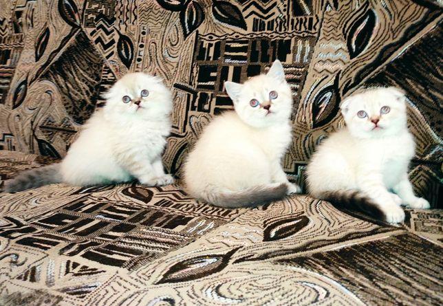 Линкс-поинт котята фолд и страйт хайленд и скоттиш шотландские
