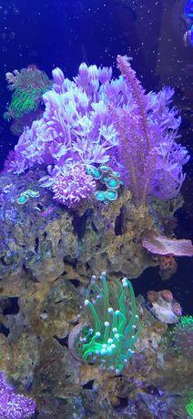 Xenia pulsujaca akwarium morskie