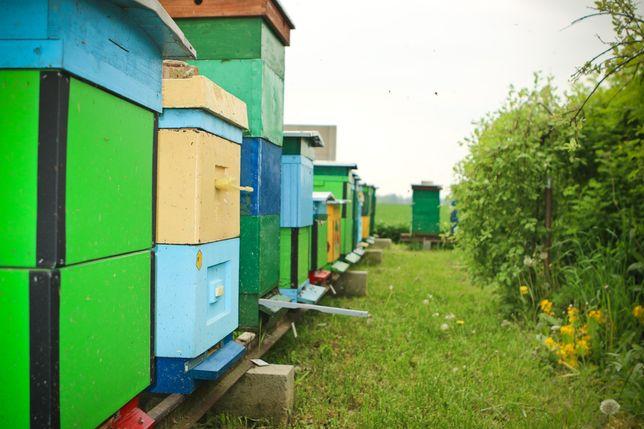 Pszczoły, rodziny pszczele, ule, wielkopolskie