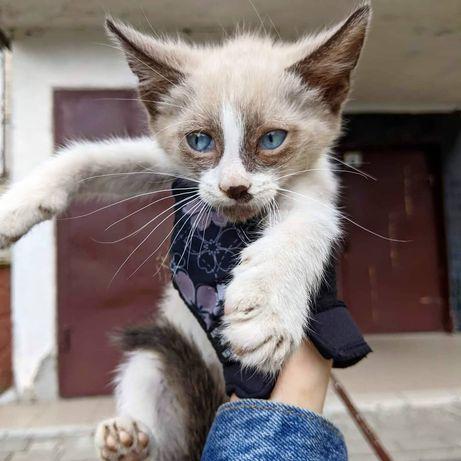 Кіт, 2 місяці кошеня Том