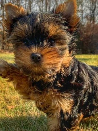 Malutkie Yorki terrier