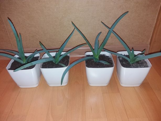 Aloes leczniczy