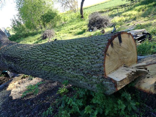 Drzewo dąb dla stolarza