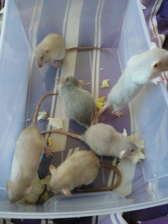 Rasowe Szczurki Dumbo Niebieska i Popielate