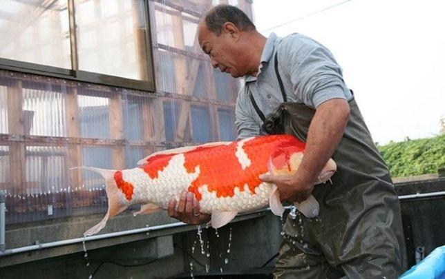 рыбки для пруда,карп кои опт,карп кои малек,корм для кои,лотос,нимфеи