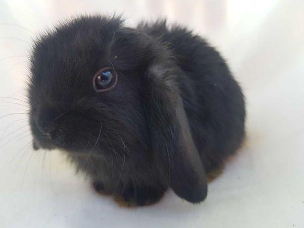 Mini Lop królik       .