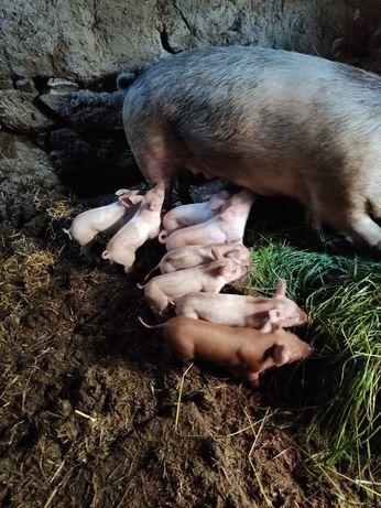 Vendo porcos (leitões)