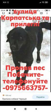 Пропала собака ( чорний лабрадор)