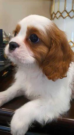 Cavalier King Charles Spaniel- Pies *Cayen* Rodowód FCI, ZKwP