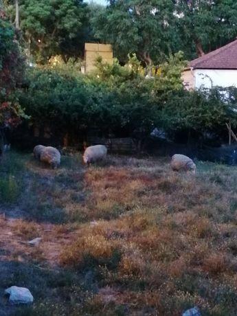 Vendo ovelhas e carneiro