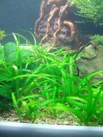 Rośliny akwariowe/roślina do akwarium/Sagitaria Subulata/trawnik
