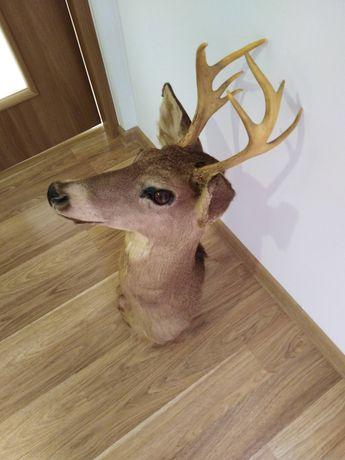 Głowa jelenia,poroże, trofea myśliwskie
