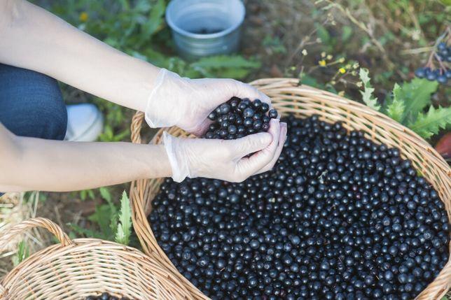 Najlepsza aronia - świeży owoc, dojrzały i słodki