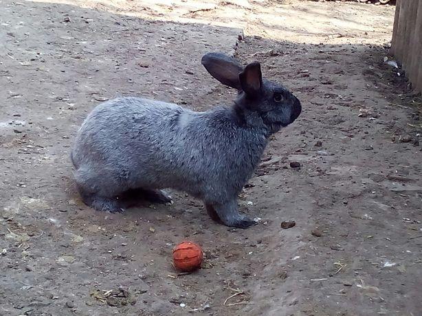 Кролики Полтавське серебро