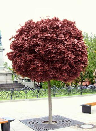 Duży  klon czerwony na pniu drzewko kula 2,5 m