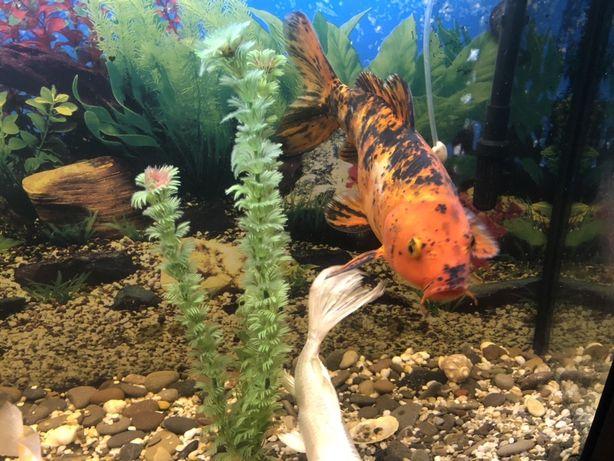 Продам Кои рыба большая 40 см