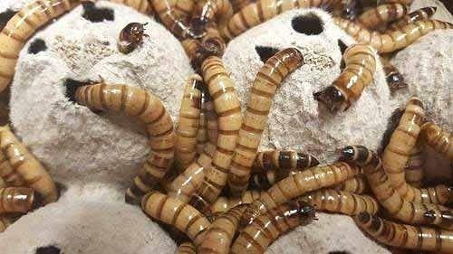 Личинки зофобас (Zophobas morio) живые кормовые насекомые для рептилий